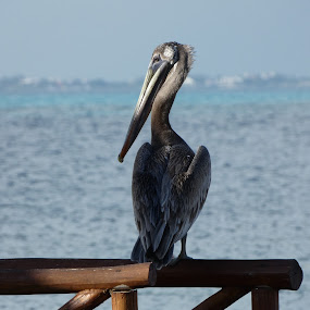Pelican by Judy Boyle - Animals Birds ( pelican. beaky. sunshine. seaside,  )
