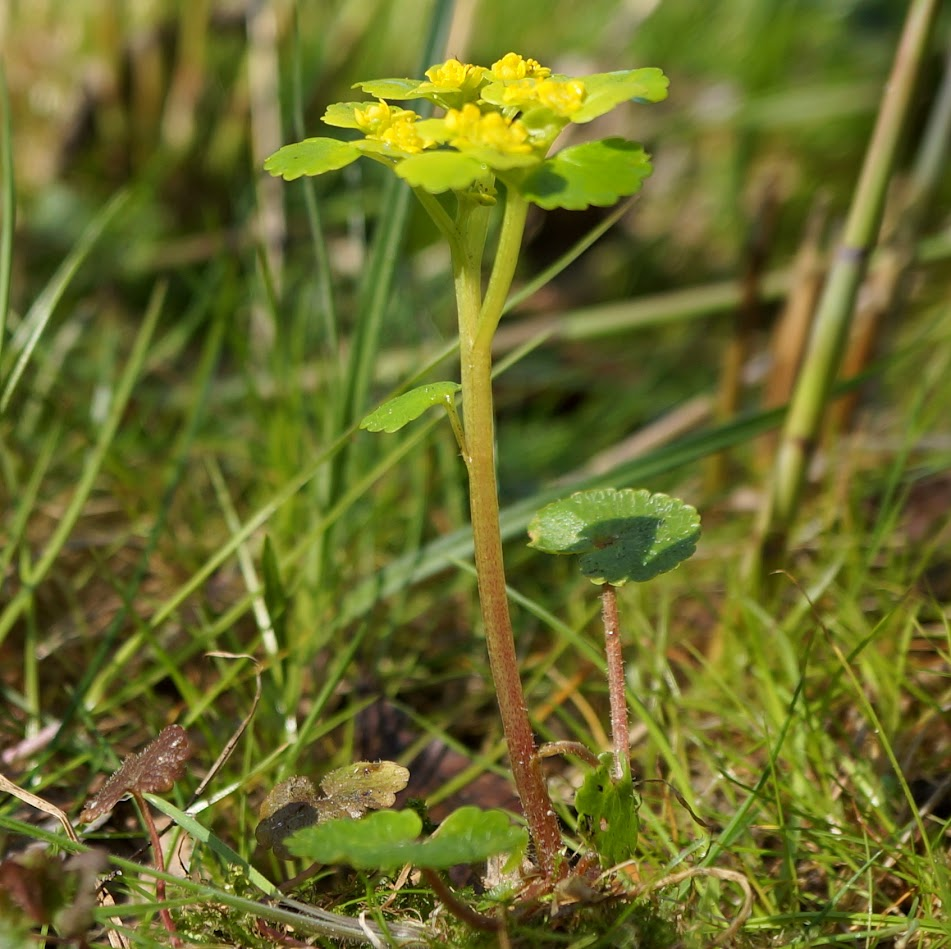 groeiwijze met alleenstaand en langgesteeld stengelblad