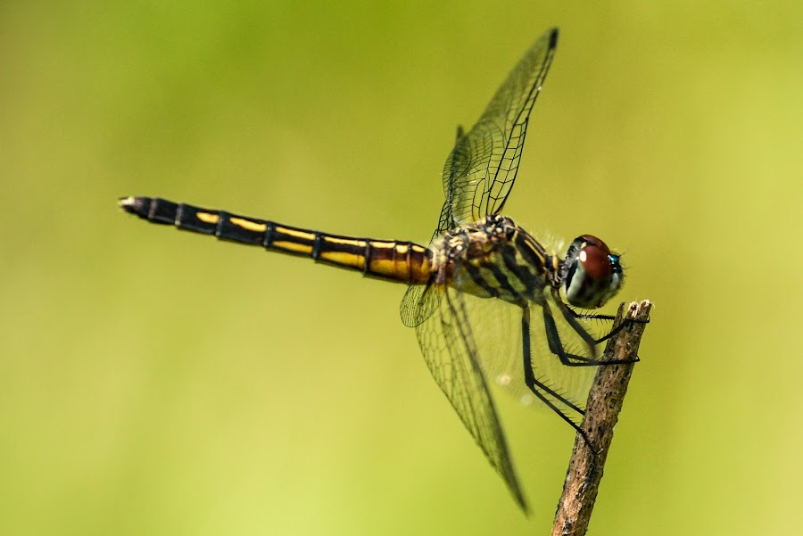 Just Resting by Stephen Chandler - Animals Insects & Spiders ( arthropod, bugs, summer, insects, predators, dragonflies )