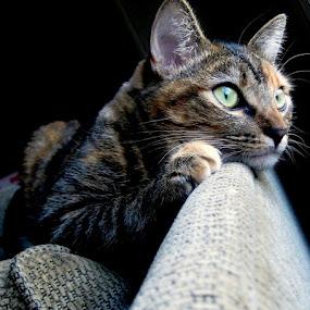 Fixated by Serenity Deliz - Animals - Cats Portraits ( cat, sleeping kitty, san jose, serenity deliz, california, precious, staring cat, cute, kitty )