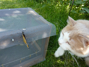 Photo: It's CATURDAY!!!!  This is my Great Butterfly Hunter!  Can you guess what happened next? :) ----------------------------------------------------- It's a very busy day, but I couldn't stay away! I had to post for #Caturday ....!!!! Hello to the most excellent +Christophe Friedli & +Lee Daniels! :)