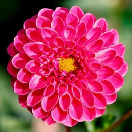 Dalhia n00033 by Gérard CHATENET - Flowers Single Flower