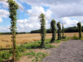 Photo: The clay soil and high water table of the plain of the River Trent suit the needs of hop bines.