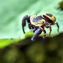 Wasp-mimic Jumping Spider