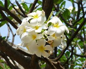 Photo: More flower pictures.  These were really large plumeria.