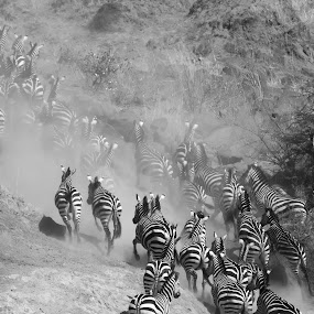 River crossing at the Mara by Shreyas Kumar - Black & White Animals ( migration, bw, zebra, masaimara,  )