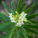 Flax-leaved daphne