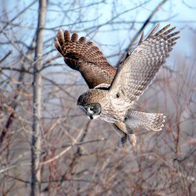 hunting by Jean-Pierre Machet - Animals Birds ( bird, oiseau, nature, great gray owl, chouette lapone,  )