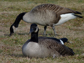 Photo: If you look closely, you can see that the sitting goose's eye is partially closed.