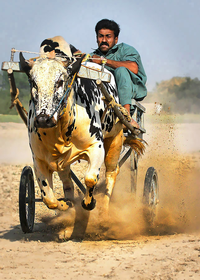 Bull Cart by Abdul Rehman - Sports & Fitness Other Sports ( pakistan, multan, dust, cart, bull, race, culture,  )