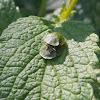 Green Tortoise Beetle