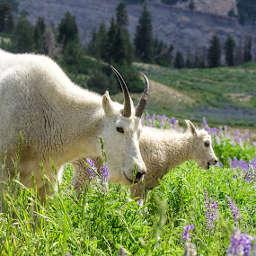 Mother and Child by Steve Densley - Animals Other ( wildflowers, mountains, mountain goats, nanny, kid,  )