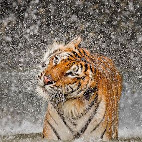 Twist and Shake by Ashley Vincent - Animals Lions, Tigers & Big Cats ( felidae, panthera tigris corbetti, stare, shake, thailand, intense, ashley vincent, droplets, explode, striking, predator, awesome, awe-inspiring, focused, black, compelling, regal, eye, tigress, orange, indochinese tiger, majestic, powerful, magnificent, confident, explosion, endangered, big cat, tiger, queen, eye contact, tropical, explosive, breathtaking, exotic, captivating, entrance, wow, carnivore, wet, feline, apex predator, water, engaging, spray, beautiful, majesty, mesmerizing, panthera, confidence, princess, corbett's tiger, eye catching, stunning, energy, animal, motion, animals in motion, pwc76 )