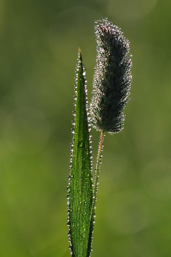 morning by Dalia Račkauskaitė - Nature Up Close Flowers - 2011-2013 ( plant, dew, morning )