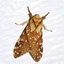 Hickory Tussock Moth