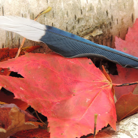 BLUE JAY FEATHER by Laura Cummings - Nature Up Close Other Natural Objects ( blue jay feather,  )