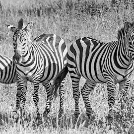Zebras in thought by Pravine Chester - Black & White Animals ( animals, monochrome, black and white, wildlife, tanzania, africa, zebras )