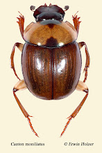 Photo: Canton moniliatus, 6,2 mm, Costa Rica, Corcovado NP, Sirena (08°28´/-83°35´), leg. Erwin Holzer, det. Darren J. Mann, vid. Angel Solis