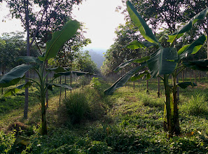 Photo: Here is a plantation of young rubber trees.