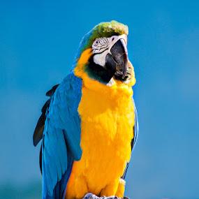 Blue Yellow Macaw by Anita  Christine - Animals Birds ( bird, aves, ara ararauna, papagei, parrot,  )