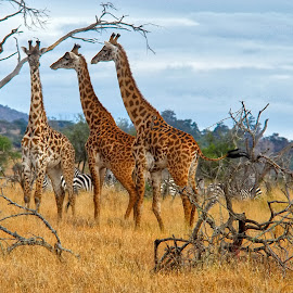 Three Giraffes by Robert Abramson - Animals Other Mammals ( tanzania, africa, animal, giraffes, serengeti )