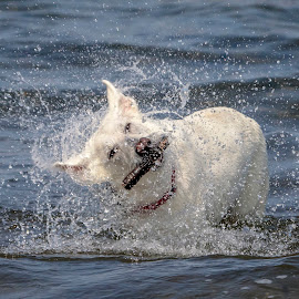 German Shepard in Lake George by Debbie Quick - Animals - Dogs Playing ( debbie quick, adirondacks, canine, german shepard, water, debs creative images, k9, outdoor magazine, outdoors, animal, playing, stick, dog, pet, lake george,  )