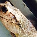 Cuban Tree Frog/ Rana Septentrionalis