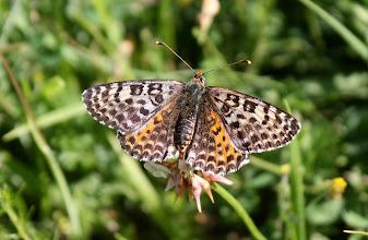 Photo: Melitaea didyma  Lepidoptera Nymphalidae