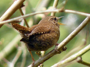 Photo: In 2010 the Pacific Wren was officially recognised as a separate species from the Winter Wren: http://www.zoology.ubc.ca/~irwin/wrens.html