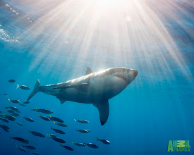 Photo: Great White Shark Followed by Schooling Fish