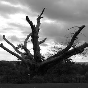 Old oak tree by Judy Boyle - Black & White Landscapes (  )