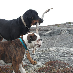 by Ricky Friskilæ - Animals - Dogs Playing ( playing, bulldog, dogs, dog, rottweiler )