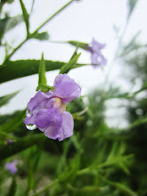 Photo: Little bit of rain on a purple flower at Eastwood Park of Five Rivers Metroparks in Dayton, Ohio.