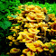 Golden Oyster Mushrooms
