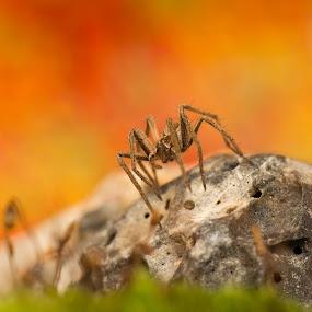 A nurse in colors by AhMet özKan - Animals Insects & Spiders ( macro, nursespider, spider )