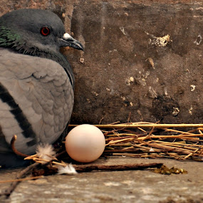 The Mother by Satminder Jaggi - Animals Birds ( bird, pigeon, mother, scared, egg )