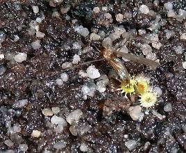 Photo: Ein Drosera glanduligera Sämling hat eine selbst gefangene Mücke fest im Griff (Weil am Rhein, 24.11.2012)  This D. glanduligera seedling has a certain lock on the gnat.