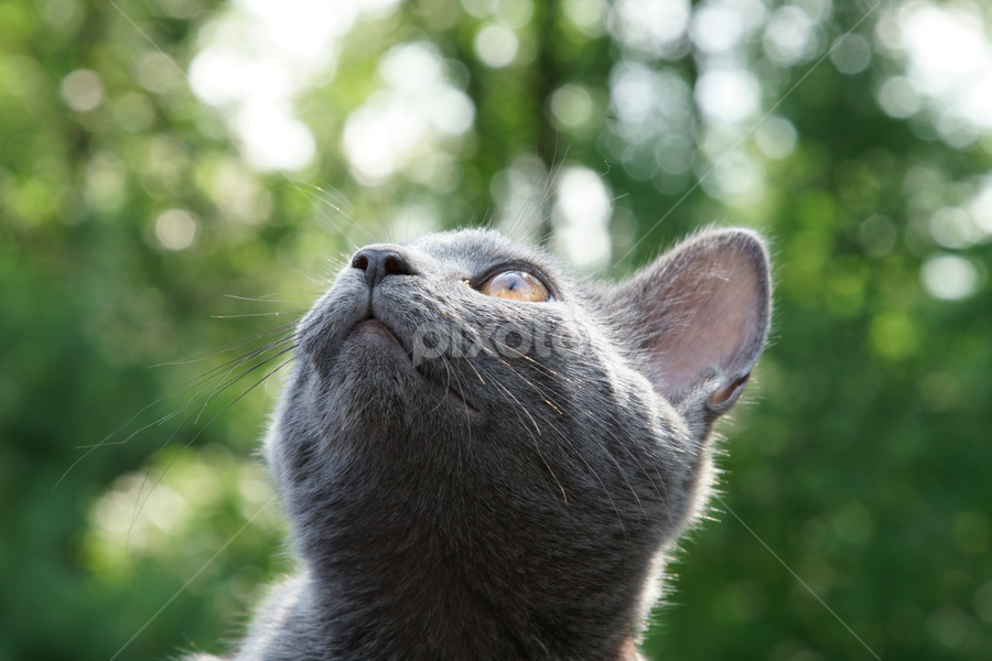 Close up of a grey Russian blue cat. by Dipali S - Animals - Cats Kittens ( studio, fur, young, cute, eyes, domestic, beautiful, hair, gray, kitten, white, mammal, cat, playful, pet, lying, green, russian, nature, purebred, portrait, grey, face, blue, background, animal, looking, sweet )