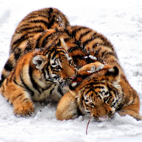 Playtime by Amanda Westerlund - Animals Other Mammals ( cat, tiger, snow, play, feline, cub )