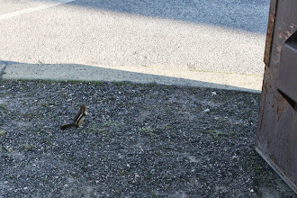 Photo: By Old Faithful, Dulce saw a little friend