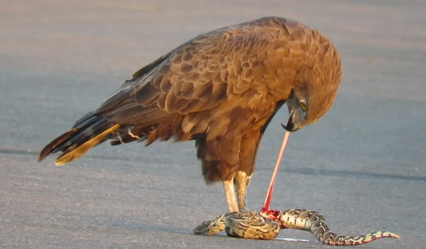 WATCH Eagle tears snake apart and eats it while it's still alive