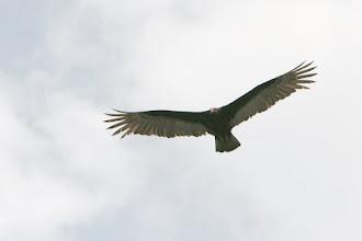 Photo: Aigle à tête rouge
