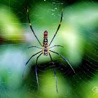 Spider, Golden silk orb-weaver