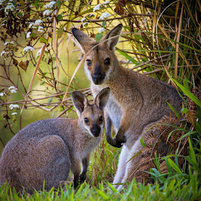 Captured moment by Rebecca Ramaley - Animals Other Mammals ( mama, australia, wallaby, mt burrell, baby, close up )