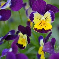 Di viola e giallo di
