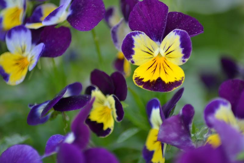Di viola e giallo di claboni