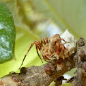 Arboreal Lynx Spider