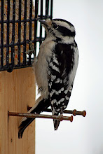Photo: For #BirdPoker High Key curated by +Phil Armishaw  A female Downy Woodpecker at the suet feeder.
