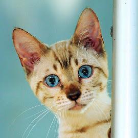 Snow Bengal by Cacang Effendi - Animals - Cats Playing ( cats, kitten, cattery, chandra, animal, pwc84 )