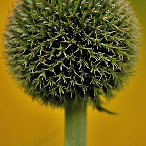 Globe by Billy Kennedy - Nature Up Close Other plants ( plant, spikes, jaggy, stem, flower )
